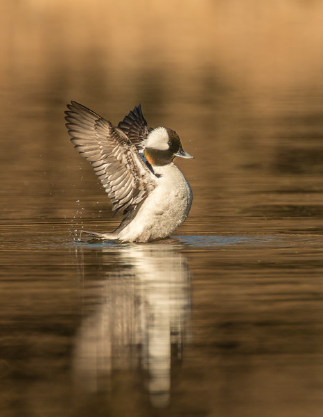 Drake Bufflehead wing flap