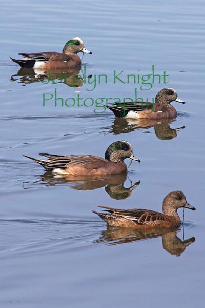 Ducks6000