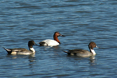 Northern Pintails, Canvasback