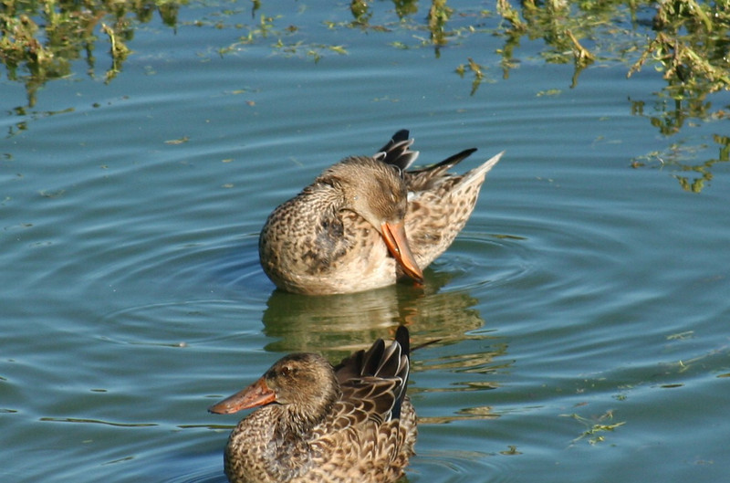 Female Northern Shovelers