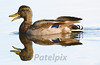 Mallard duck (female)<br /> The Celery Farm<br /> Allendale<br /> New Jersey