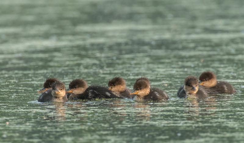 Hooded Merganser ducklings