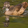 Wood Duck, George C. Reifel Bird Sanctuary, Delta, British Columbia