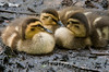 Insomnia  ---  it can make you feel pretty lonely!!!<br /> Mallard ducklings<br /> The Celery Farm<br /> Allendale, New Jersey