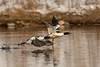 Drake Common Merganser taking flight