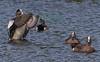 Ruddy Ducks in breeding colors