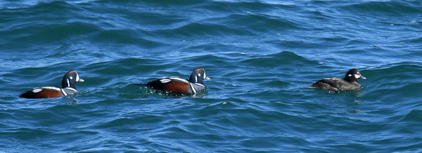 #1653  Harlequin Ducks  off Andrew Point, Rockport, MA  on May 31, 2018