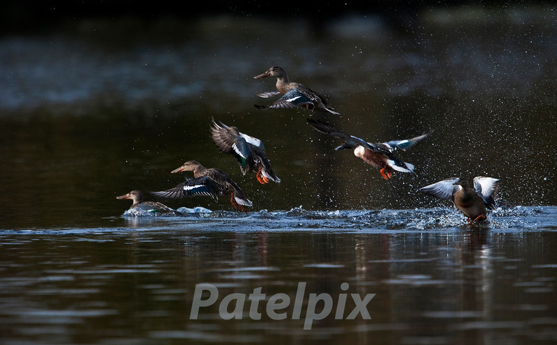 Northern Shovelers taking off<br /> Celery Farm, Allendale<br /> New Jersey, 2010