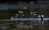 Northern Shovelers taking off<br /> Celery Farm, Allendale<br /> New Jersey, 2010