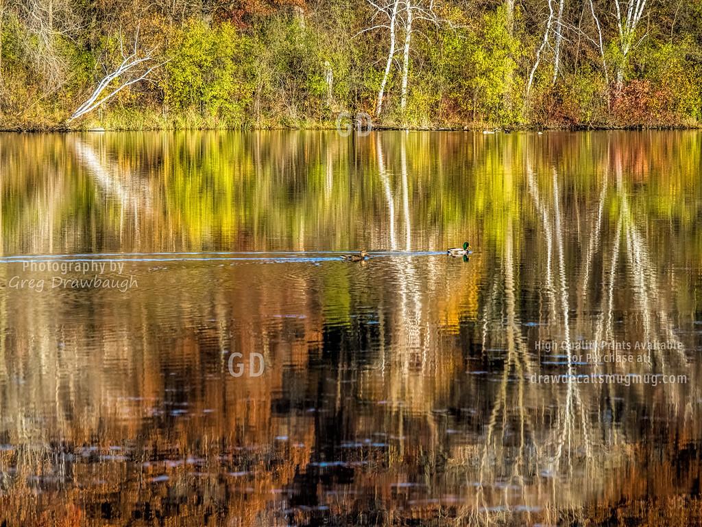 Mallards on Suckr Lake
