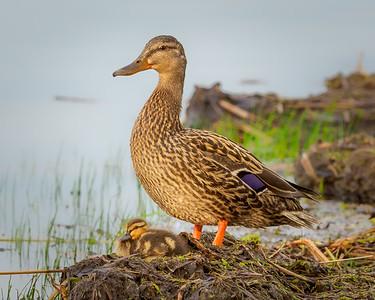 Mallard Hen and Young