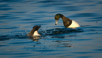 Diving Scaups