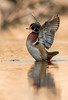 Drake Wood Duck wing stretch