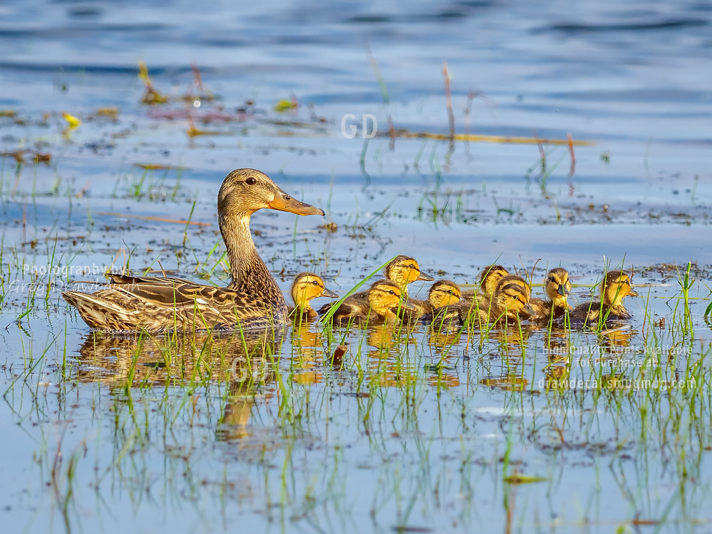 Mallard Mom and Nine Ducklings