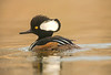 ADK-13-201: Male Hooded Merganser (Lophodytes cucullatus)