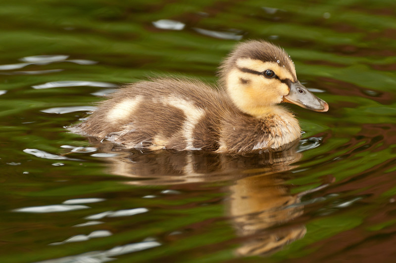 ADK-12530: Day old Mallard duckling