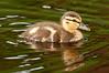ADK-12530: Day old Mallard duckling