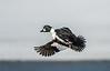 Drake Common Goldeneye taking flight