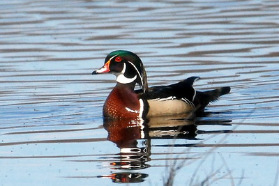 #812  A wood duck male.