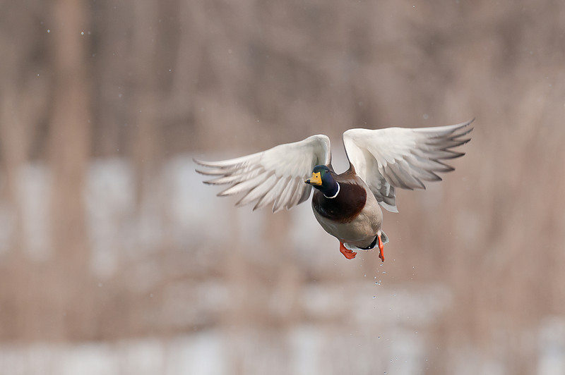 ADK-11051: Mallard taking to the air (Anas Platyrhynchos)