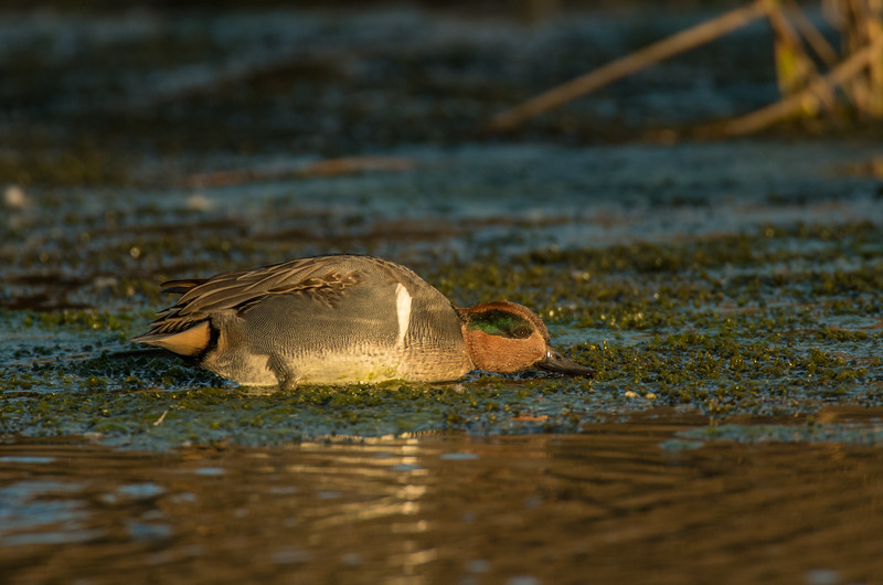 Feeding Drake Green-winged Teal