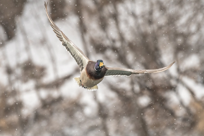 Mallard in falling snow