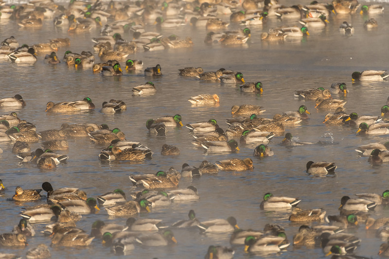 Mallards gathering on cold morning on the river