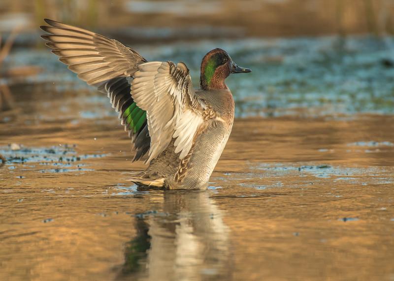 Drake Green-winged Teal