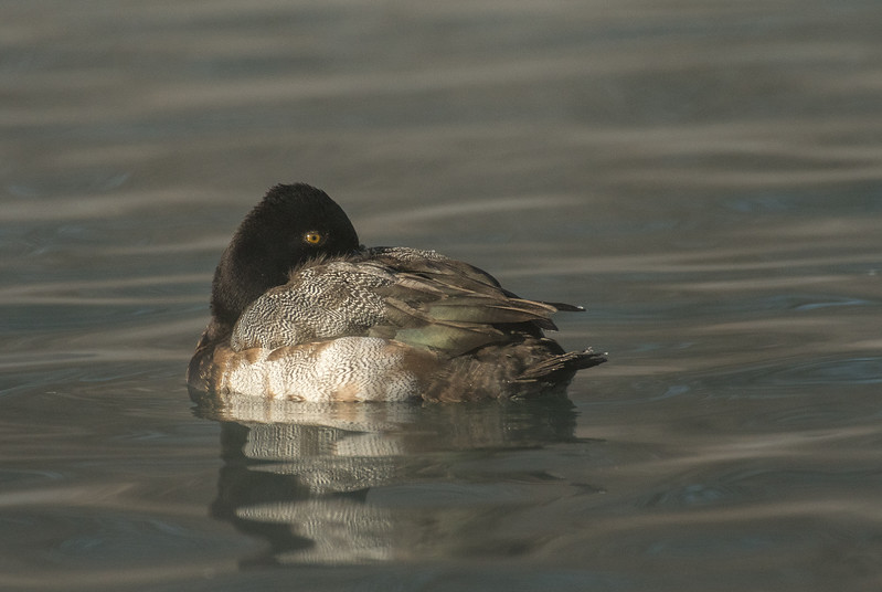 Female Lesser Scaup taking nap