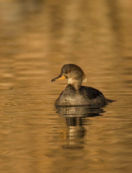 ADK-8132: Female Hooded Merganser (Lophodytes cucullatus)