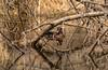 Wood Duck in hiding
