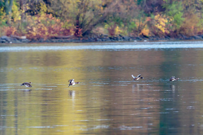 Scaups on the Run
