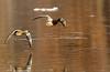 Mallard pair on the wing