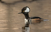 Alert Drake Hooded Merganser