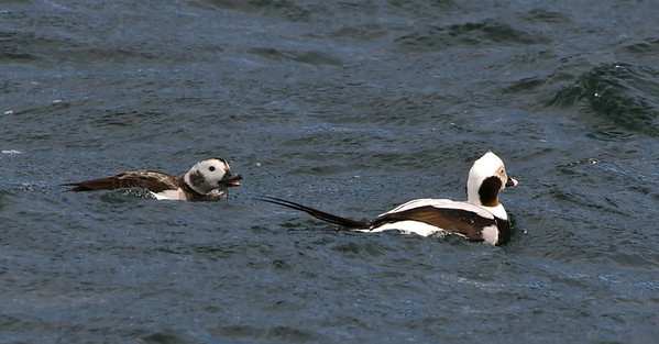 Long-tailed Ducks.  Male on the right, receiving instructions