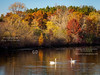 Swans on Sucker Lake