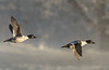 Common Goldeneyes in flight