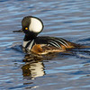 Hooded Merganser, Moira River, Belleville, Ontario