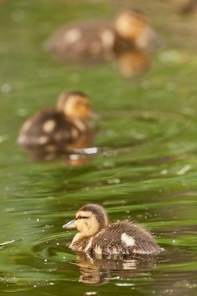 ADK-12552: Duckling trio