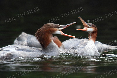 #979  Common mergansers feeding.
