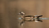 ADK-13-252: Female Wood Duck