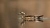 ADK-13-252: Female Wood Duck