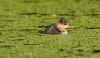Hooded Merganser duckling