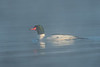 Misty morning Merganser