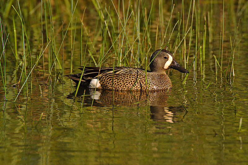 ADK-7236: Drake Blue-winged teal (Anas discors)