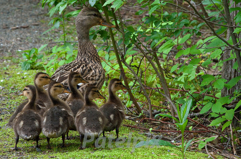Family Outing<br /> Mallard mother with ducklings<br /> The Celery Farm<br /> Allendale<br /> New Jersey