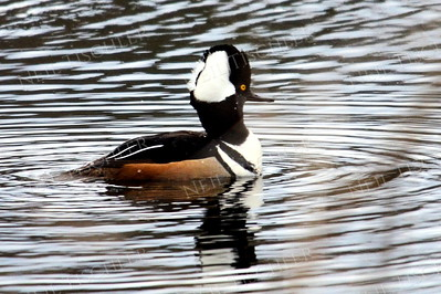 #1158  Hooded Merganser, male