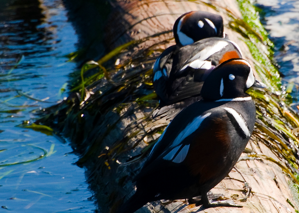 Male Harlequin Ducks