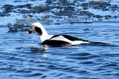 1404  Long-tailed Duck, male  amid ice floe in Merrimack River in Newburyport, MA