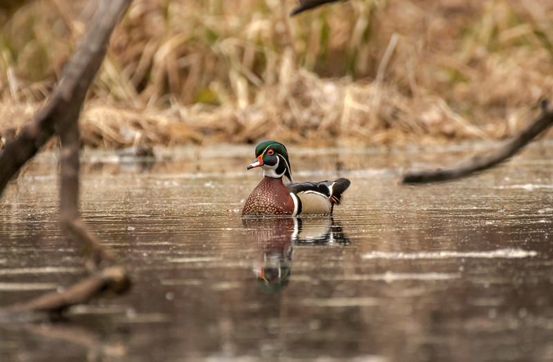 Wood Duck surrounded by wood